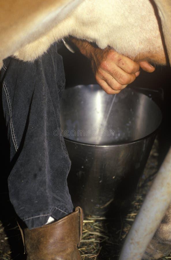 Η κινηματογράφηση σε πρώτο πλάνο του αρμέγματος της αγελάδας, ιστορικό αγρόκτημα διαβίωσης, ενθαρρύνει τους τομείς, Morristown, N στοκ εικόνα με δικαίωμα ελεύθερης χρήσης