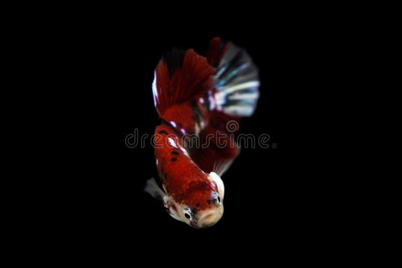 Η κινούμενη στιγμή όμορφη του κοκκίνου koi ψαριών betta του Σιάμ στην Ταϊλάνδη στο μαύρο υπόβαθρο στοκ φωτογραφία