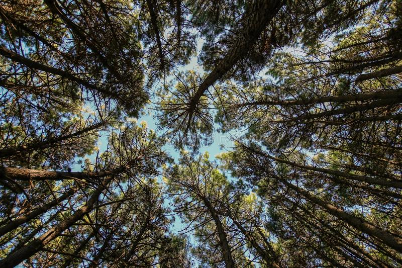 Η κορυφή των πεύκων στοκ εικόνα