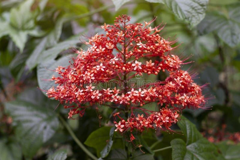 Η κόκκινη άνθιση λουλουδιών παγοδών στον κήπο στο υπόβαθρο φύσης θαμπάδων με ελεύθερου χώρου, είναι ένα ταϊλανδικό χορτάρι στοκ εικόνες