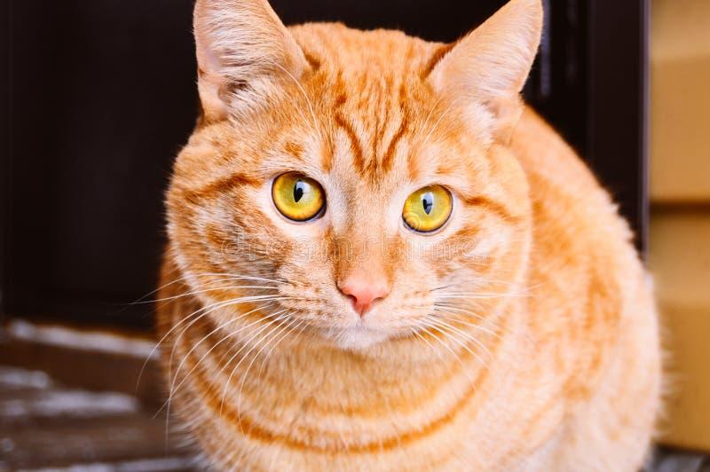 Η κόκκινη αρσενική γάτα κάθεται προς τη κάμερα έξω στοκ φωτογραφίες