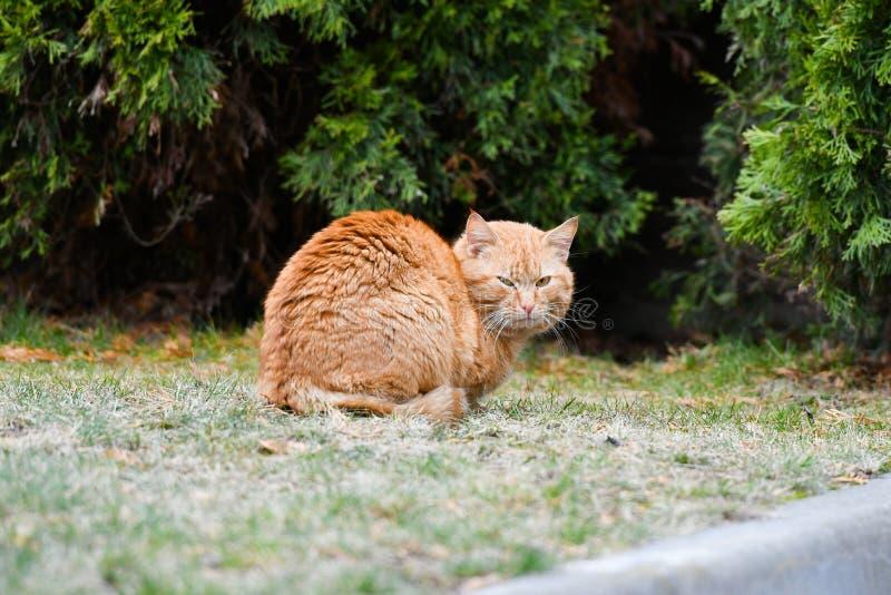 Η κόκκινη γάτα εξετάζει με Όμορφη κόκκινη γάτα στην οδό Υπαίθριο ζωικό πορτρέτο στοκ εικόνες με δικαίωμα ελεύθερης χρήσης