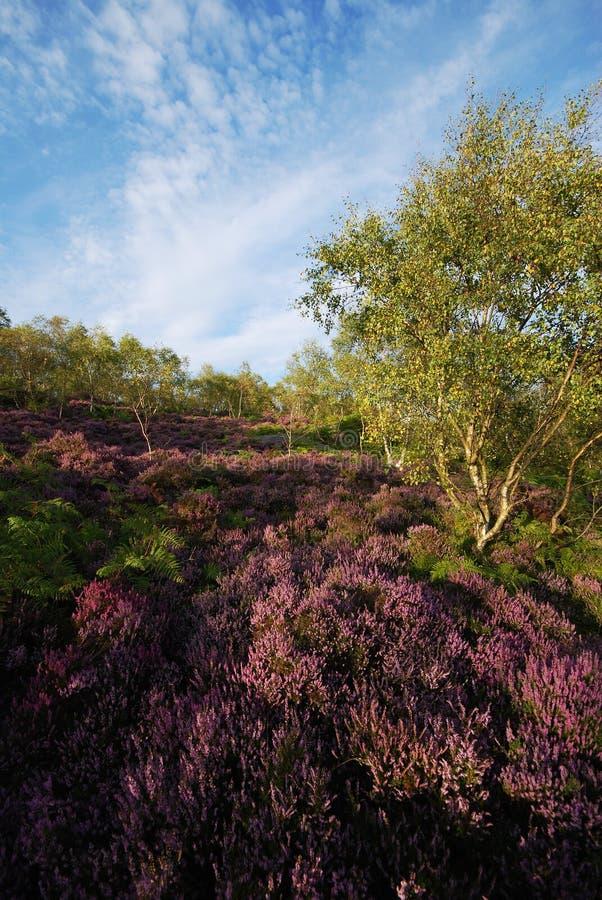 Η κόκκινη ερείκη στο Derbyshire δένει κοντά στο Σέφιλντ στοκ φωτογραφίες