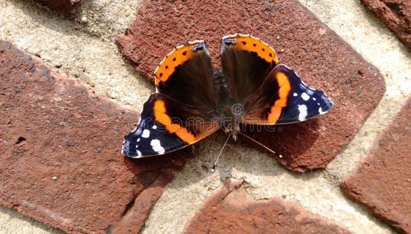 Η κόκκινη πεταλούδα ναυάρχων στοκ φωτογραφία με δικαίωμα ελεύθερης χρήσης