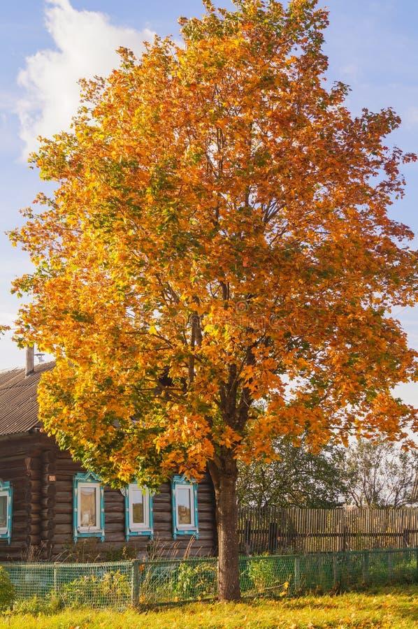 Η κόκκινη πορτοκαλιά πτώση χρωμάτισε τα φύλλα του δέντρου σφενδάμνου μπροστά από το ξύλινο σπίτι στοκ εικόνες