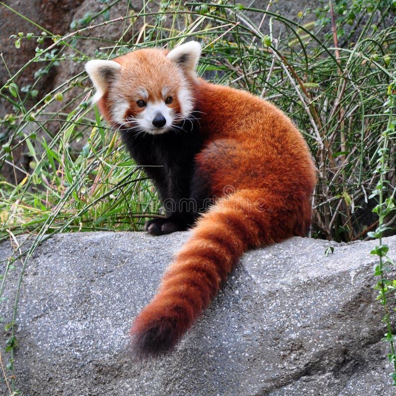 Η κόκκινη Panda στοκ εικόνα με δικαίωμα ελεύθερης χρήσης