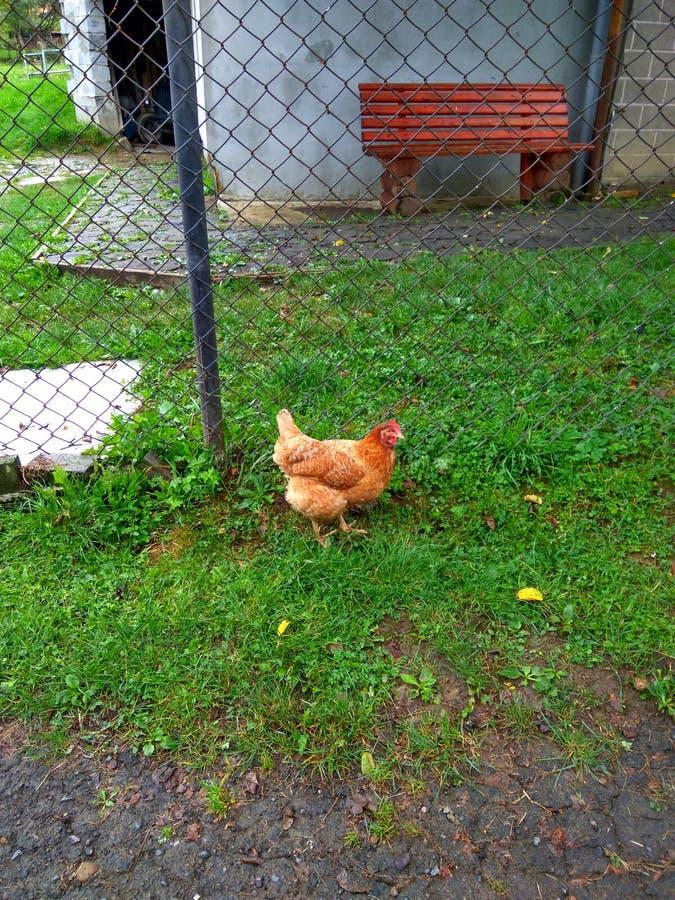 Η κότα ραμφίζει την πράσινη χλόη στοκ εικόνες