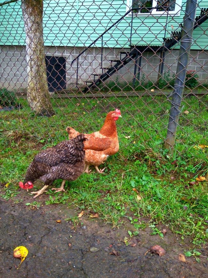 Η κότα ραμφίζει την πράσινη χλόη στοκ φωτογραφίες