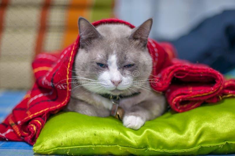 Η κλειστή επάνω παχιά γκρίζα γάτα κάθεται σε ένα στρώμα στοκ εικόνες