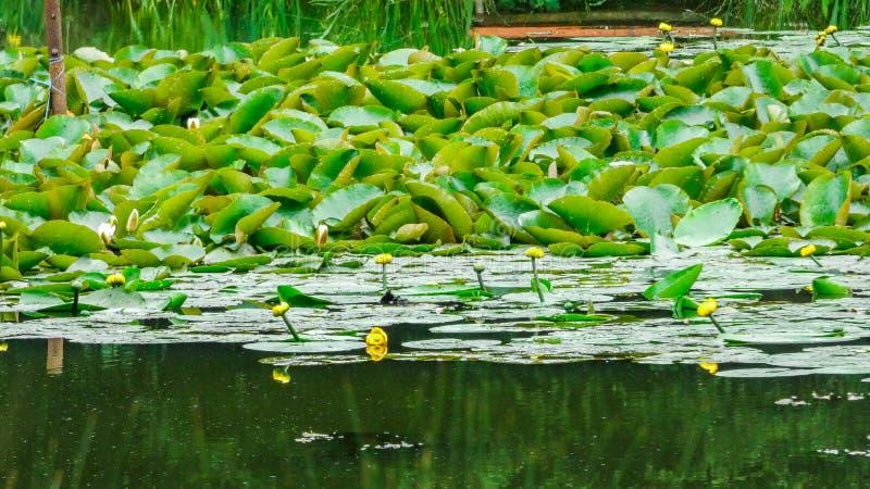 Η λίμνη της Lilly αναζωογόνησε μετά από τη βροχή στοκ φωτογραφίες με δικαίωμα ελεύθερης χρήσης