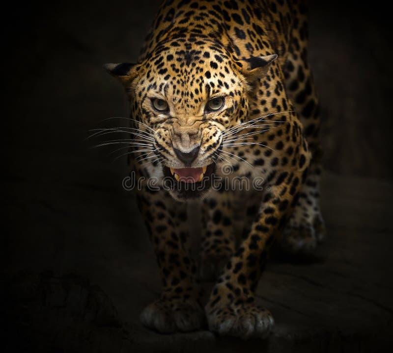 Η λεοπάρδαλη βρυχείται στοκ εικόνες με δικαίωμα ελεύθερης χρήσης