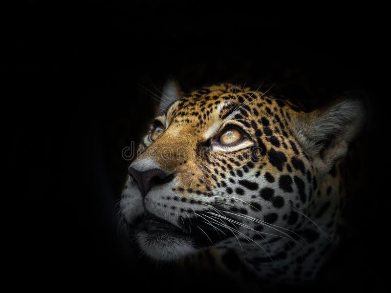 Η λεοπάρδαλη κοιτάζει επίμονα στο θύμα στοκ εικόνες
