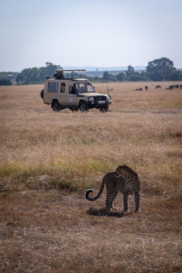 Η λεοπάρδαλη ξανακοιτάζει προς τους φωτογράφους στο φορτηγό στοκ εικόνες με δικαίωμα ελεύθερης χρήσης