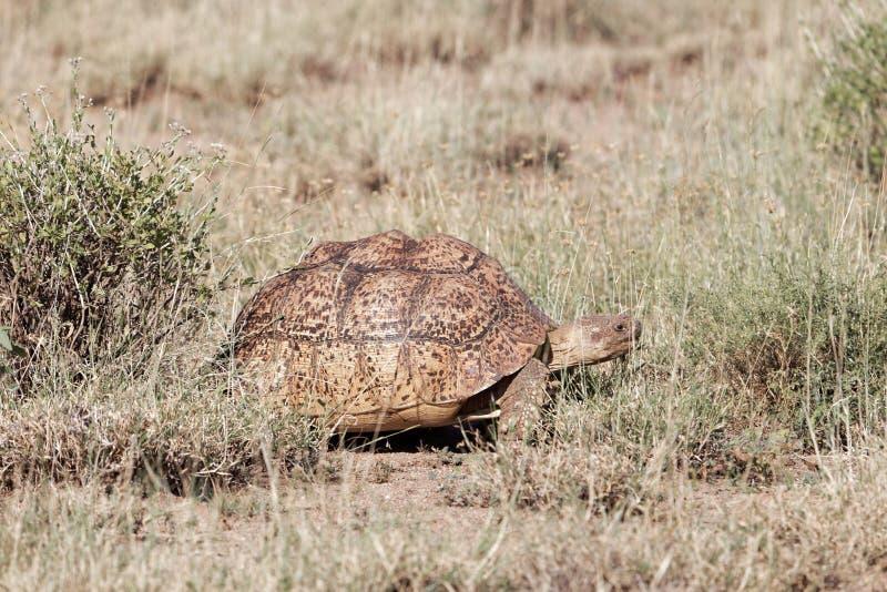Η λεοπάρδαλη τα pardalis Stigmochelys στο εθνικό πάρκο Awash στην Αιθιοπία στοκ εικόνες με δικαίωμα ελεύθερης χρήσης