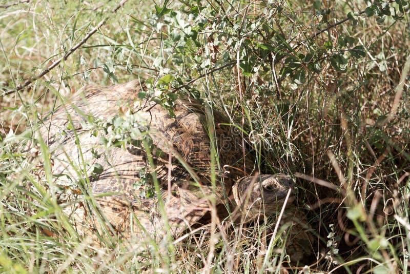 Η λεοπάρδαλη τα pardalis Stigmochelys στο εθνικό πάρκο Awash στην Αιθιοπία στοκ εικόνες