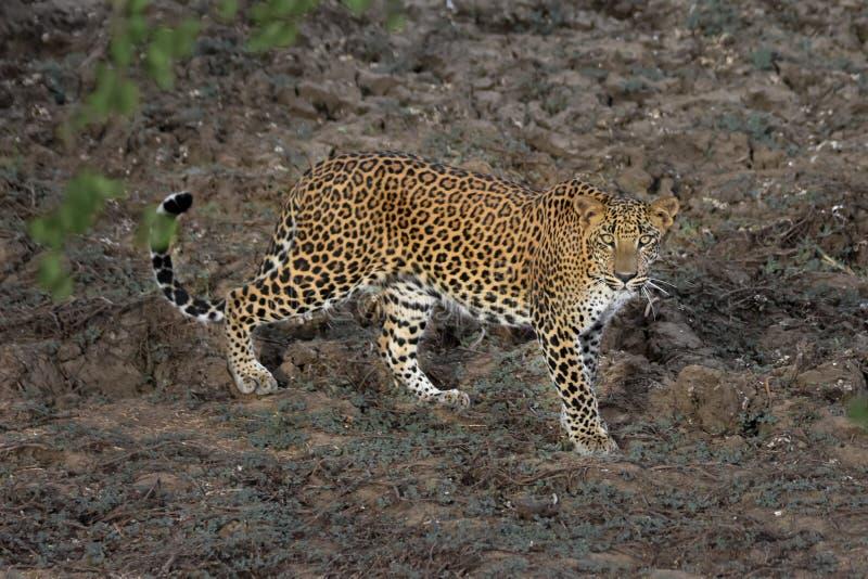 Η λεοπάρδαλη της Σρι Λάνκα με κοιτάζει στοκ φωτογραφία
