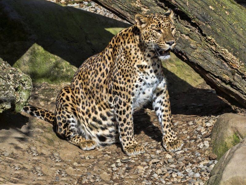 Η λεοπάρδαλη της Σρι Λάνκα, kotiya pardus Panthera, απειλείται με εξάλειψη στοκ εικόνες