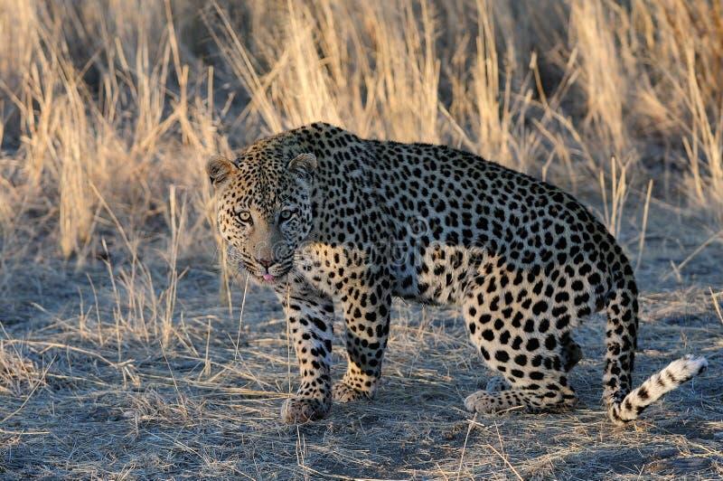 Η λεοπάρδαλη ψάχνει τη σύλληψη, Ναμίμπια στοκ εικόνα