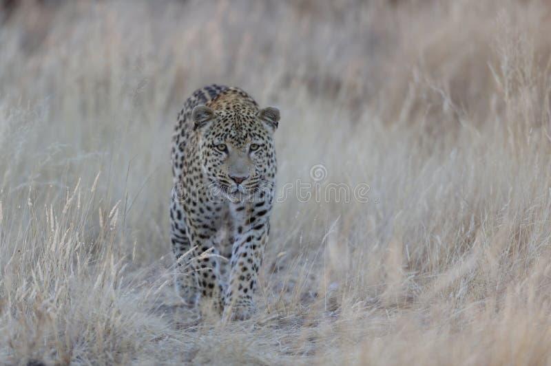 Η λεοπάρδαλη ψάχνει τη σύλληψη, Ναμίμπια στοκ εικόνες