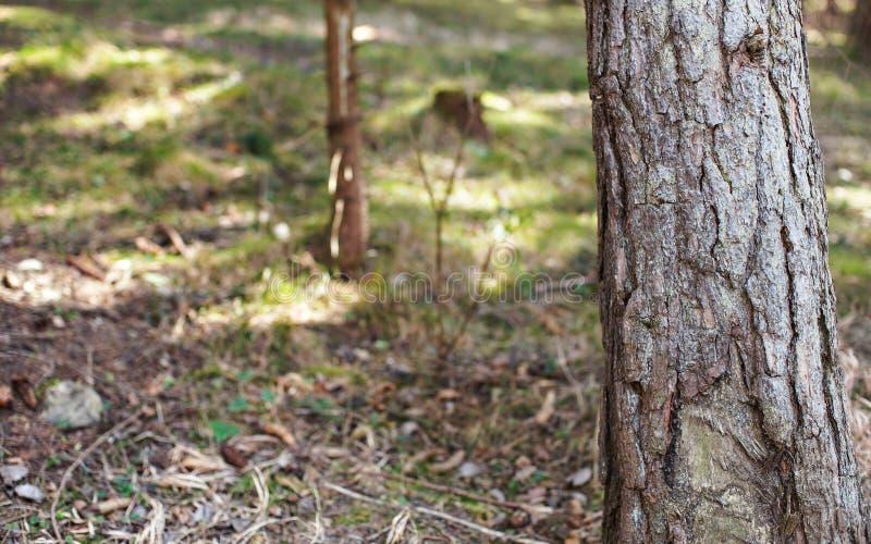 Η λεπτομέρεια του κορμού δέντρων πεύκων, λεπτομέρεια φλοιών ορατή, θόλ στοκ φωτογραφίες