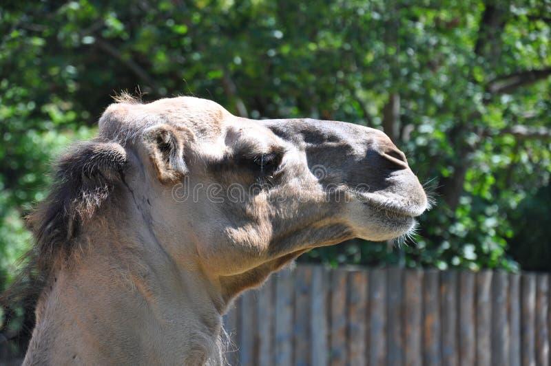 Η λεπτομέρεια του παλαιού κεφαλιού καμηλών στον κήπο ζωολογικών κήπων στοκ εικόνα