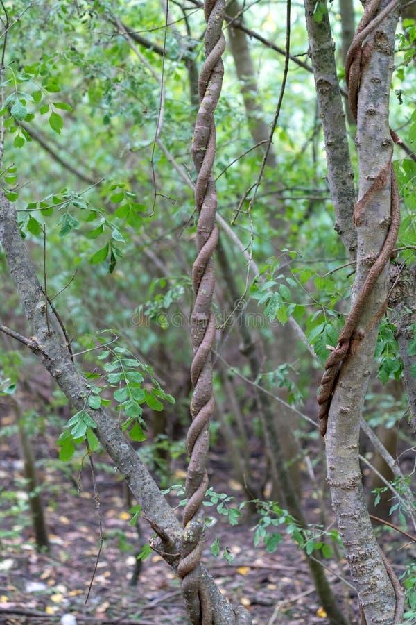 Η Λιάνα τύλιξε γύρω από ένα δέντρο σε Sulina στο δέλτα Δούναβη στοκ φωτογραφίες με δικαίωμα ελεύθερης χρήσης