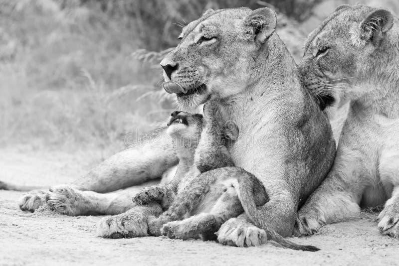 Η λιονταρίνα γλείφει cub της για να το ξεράνει των πτώσεων βροχής καλλιτεχνικό σε ομο στοκ εικόνες