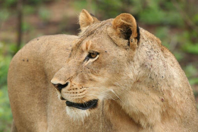 η λιονταρίνα κοιτάζει επί&mu Στοκ Φωτογραφία
