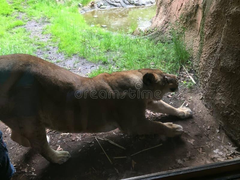 Η λιονταρίνα τέντωσε έξω κατά μήκος ενός τοίχου ερευνώντας την περιοχή της ελεύθερη απεικόνιση δικαιώματος