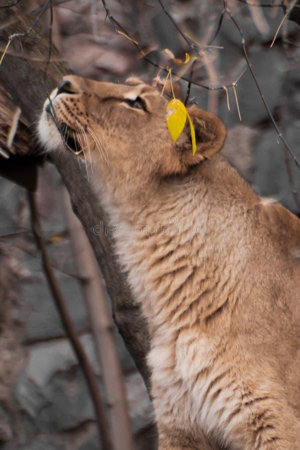 Η λιονταρίνα τέντωσε το λαιμό της και κοίταξε στην πλευρά στοκ εικόνα