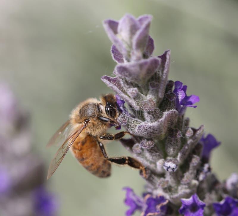 Η μέλισσα απορροφά ένα λουλούδι lavender στοκ εικόνα