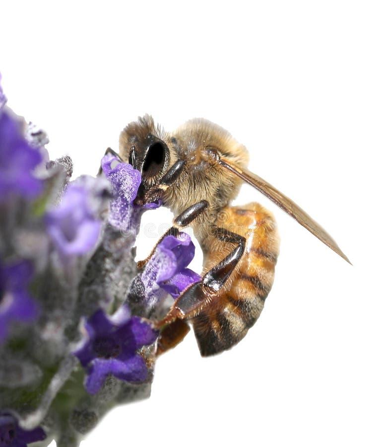 Η μέλισσα απορροφά ένα lavender λουλούδι στοκ φωτογραφία