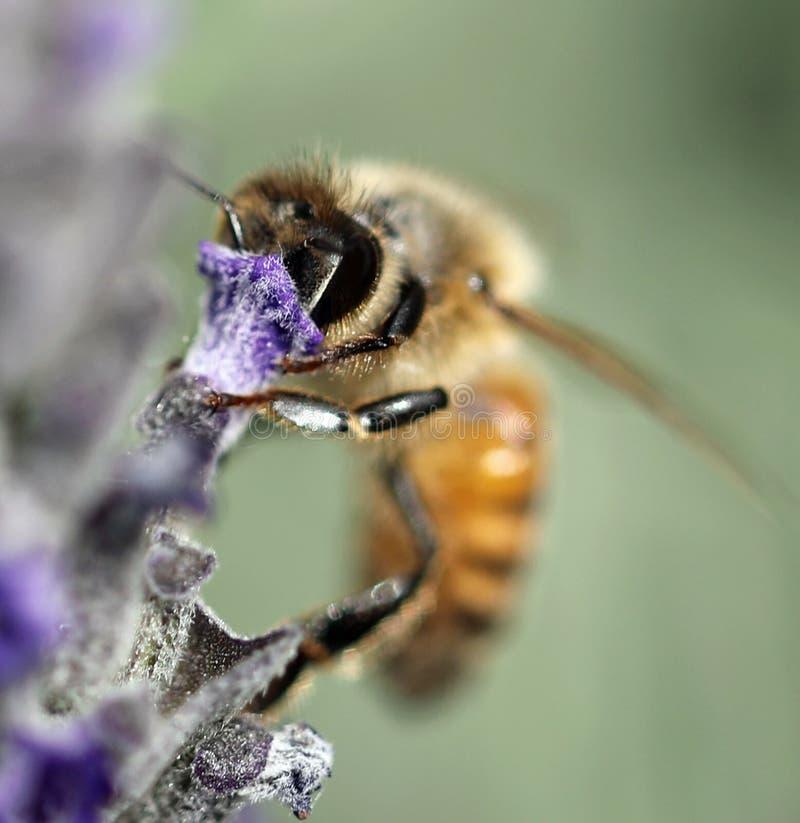 Η μέλισσα απορροφά ένα lavender λουλούδι στοκ εικόνα