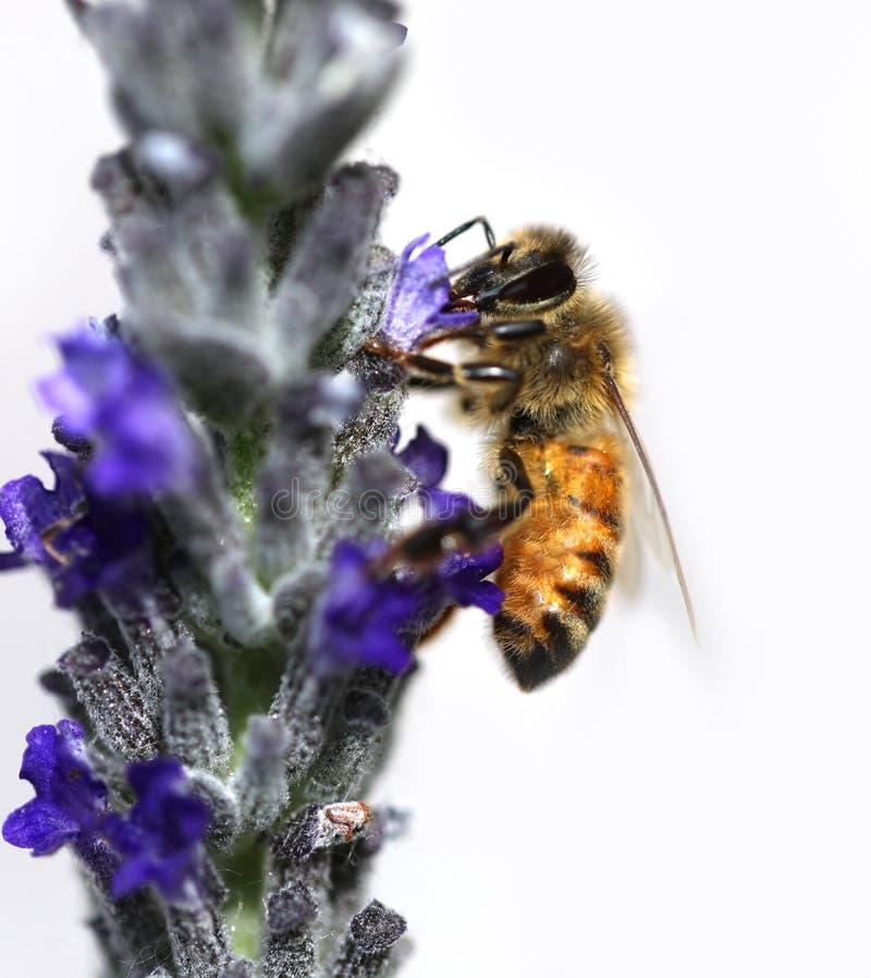 η μέλισσα απορροφά ένα lavender λουλούδι στοκ φωτογραφία με δικαίωμα ελεύθερης χρήσης