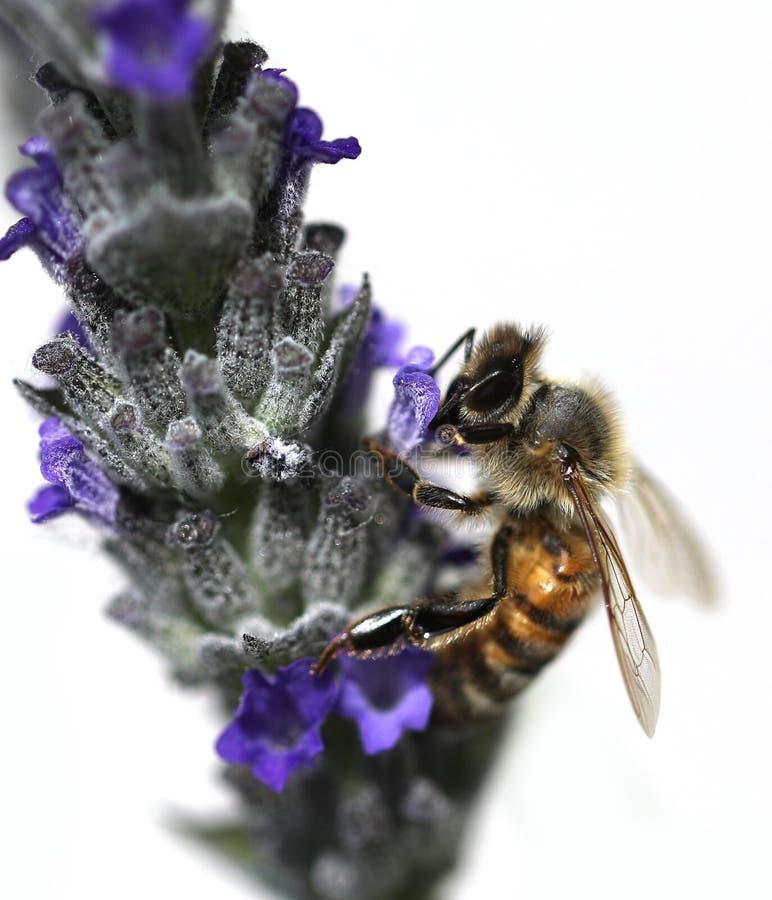 η μέλισσα απορροφά ένα lavender λουλούδι στοκ φωτογραφίες