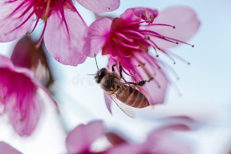 Η μέλισσα απορροφά το νέκταρ του λουλουδιού Το Prunus cerasoides είναι όμορφο ροζ στη φύση στοκ φωτογραφία με δικαίωμα ελεύθερης χρήσης