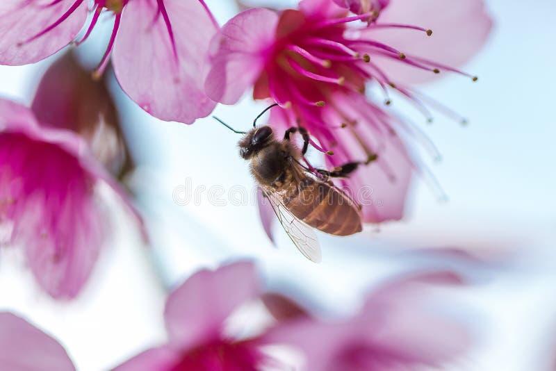 Η μέλισσα απορροφά το νέκταρ του λουλουδιού Το Prunus cerasoides είναι όμορφο ροζ στη φύση στοκ φωτογραφίες με δικαίωμα ελεύθερης χρήσης