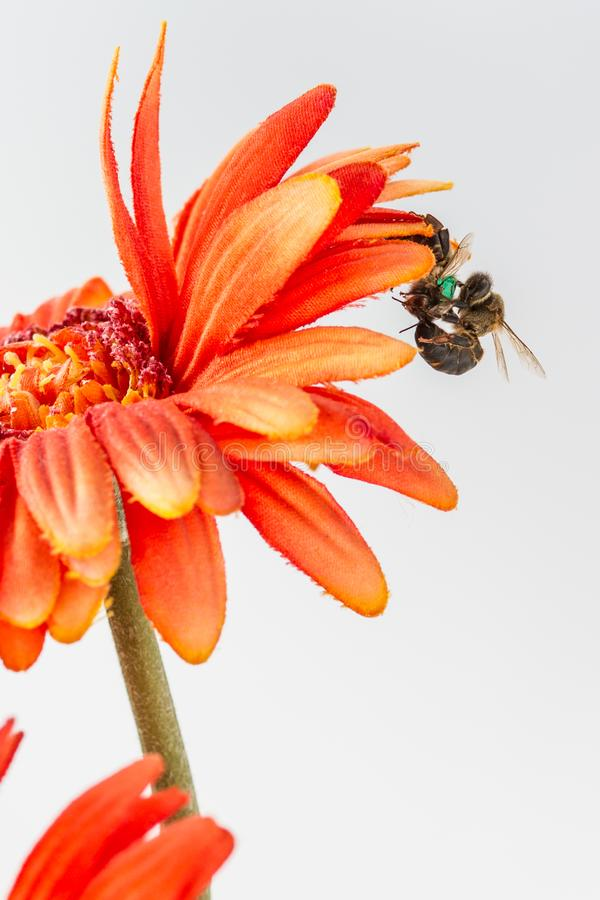 Η μέλισσα βασίλισσας σκοτώνει μια άλλη μέλισσα βασίλισσας στοκ εικόνες