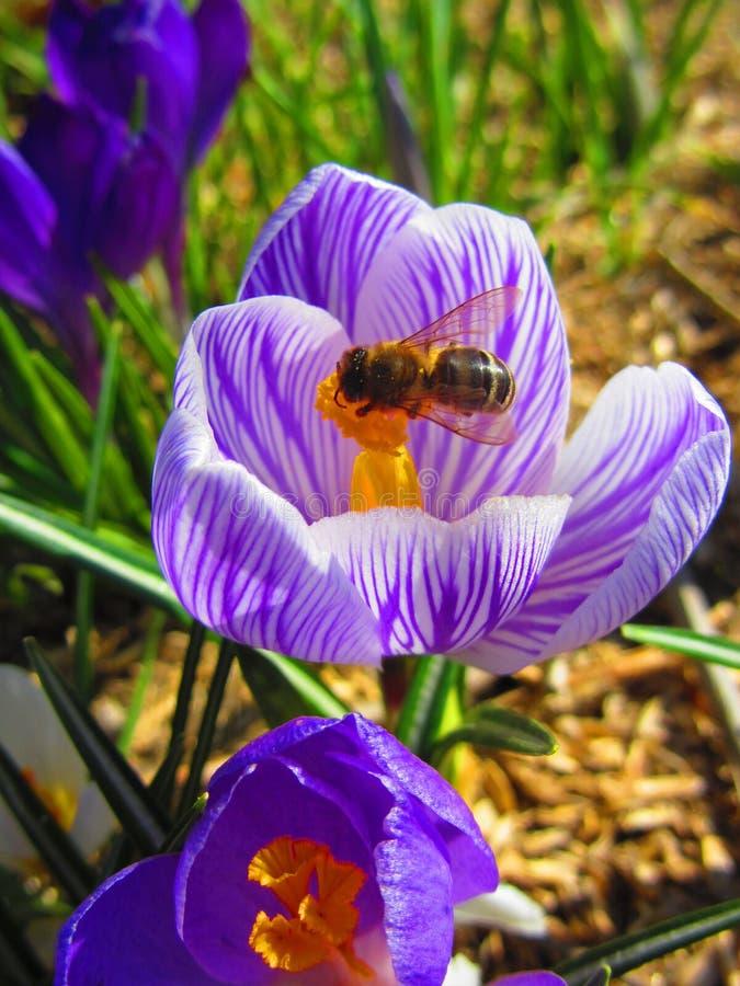 Η μέλισσα είναι στον όμορφο κρόκο άνοιξη στοκ εικόνα