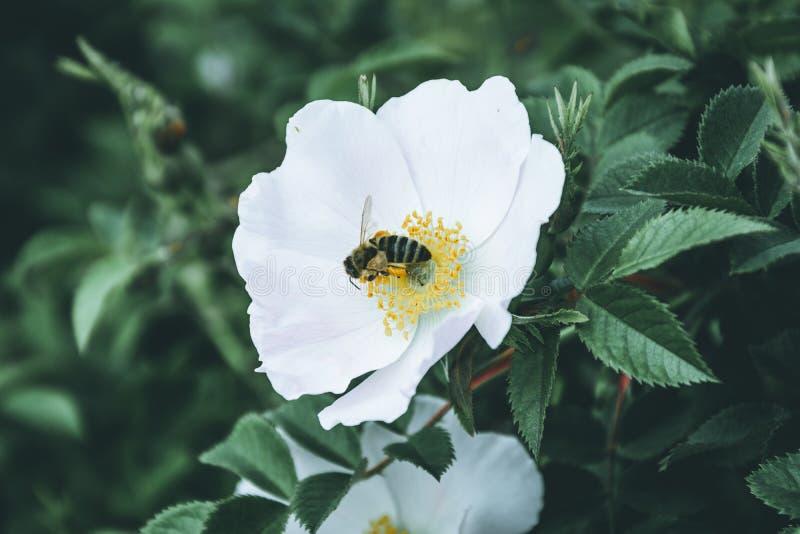 Η μέλισσα επικονιάζει το άσπρο λουλούδι ισχίων στοκ εικόνες
