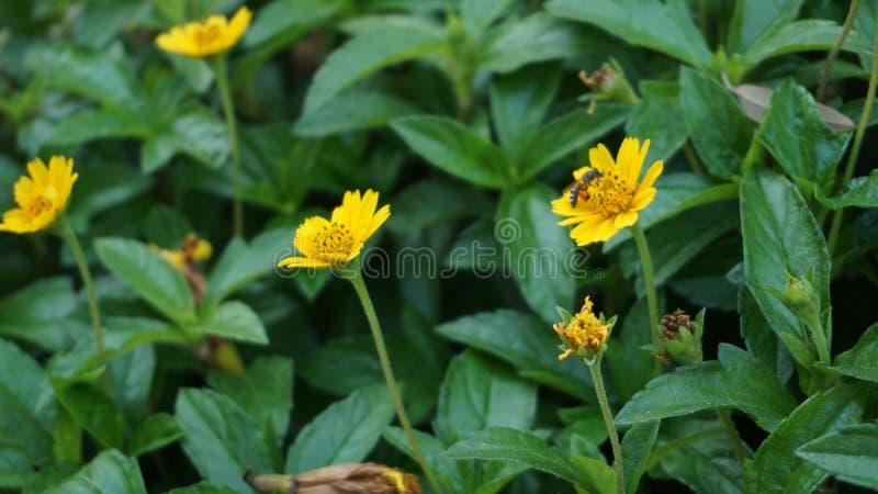 Η μέλισσα κανένα κίτρινο λουλούδι κλείνει επάνω στοκ εικόνες