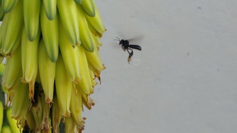 Η μέλισσα παρατηρεί και εργάζεται στοκ φωτογραφία