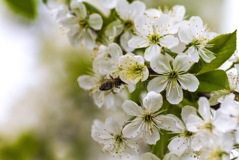 Η μέλισσα στο α μπορεί μήλο να ανθίσει στοκ εικόνα