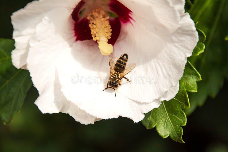 Η μέλισσα συλλέγει τη γύρη σε ένα hibiscus λουλούδι Παραγωγή του μελιού μελισσών Λεπτομέρεια της γύρης δέντρο πεδίων στοκ εικόνα με δικαίωμα ελεύθερης χρήσης