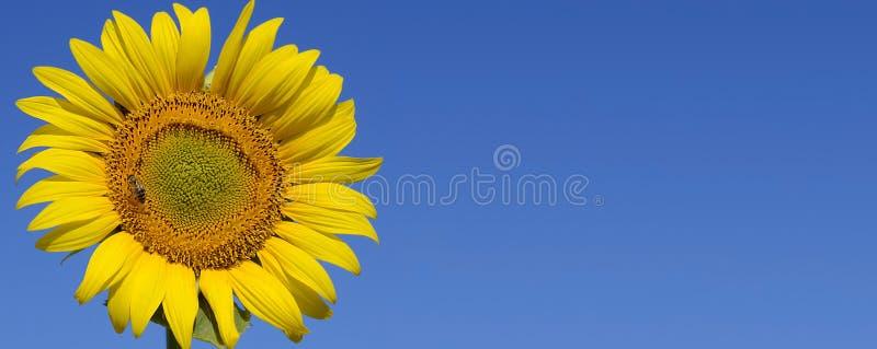 Ηλίανθος ενάντια στο μπλε ουρανό Ηλίανθος μια ηλιόλουστη ημέρα στοκ φωτογραφίες με δικαίωμα ελεύθερης χρήσης