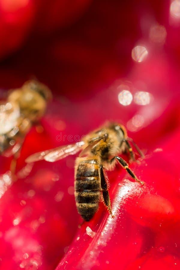 Η μέλισσα ταΐζει με ζωηρόχρωμο ξηρό - πολτός φρούτων στοκ φωτογραφία με δικαίωμα ελεύθερης χρήσης