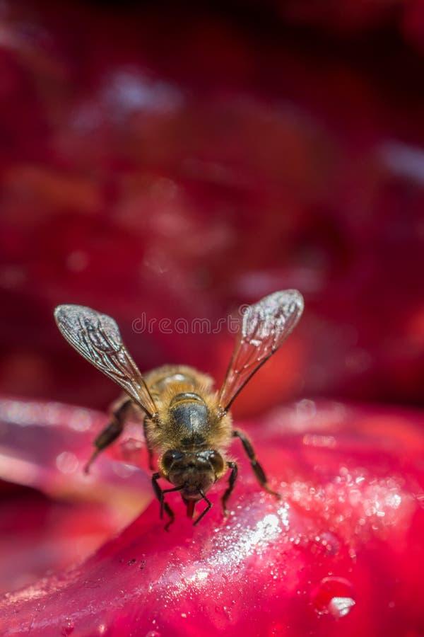 Η μέλισσα ταΐζει με ζωηρόχρωμο ξηρό - πολτός φρούτων στοκ φωτογραφία