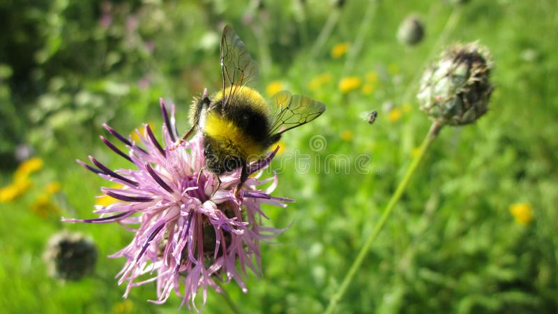 Η μέλισσα τρώει το νέκταρ Knapweed επικονιάζοντας το στοκ φωτογραφίες