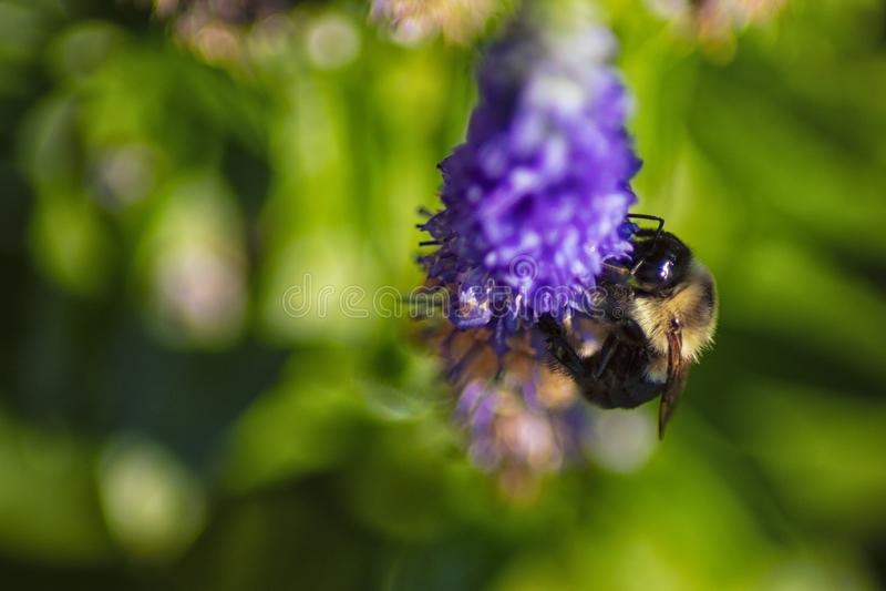 Η μέλισσα Bumble στο λουλούδι στοκ εικόνες