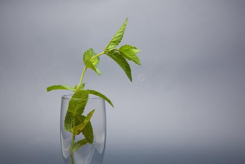 Η μέντα είναι ένα χορτάρι, αρωματικό και με την καλή γεύση στοκ φωτογραφία με δικαίωμα ελεύθερης χρήσης